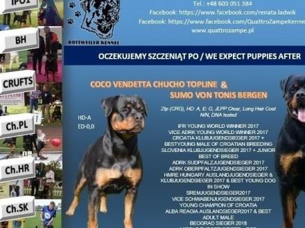 Rottweiler szczenięta ZKWP FCI