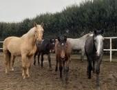 Redukcja stada- sprzedam konie!