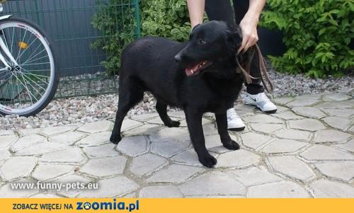 Czarny piesek w typie labradora szuka domu