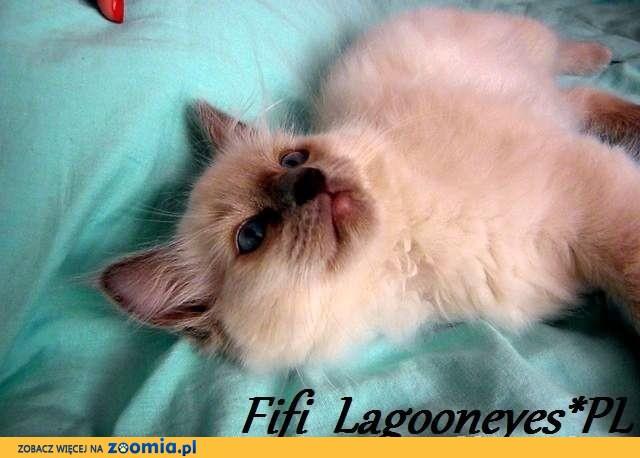 Kocięta Ragdoll po wystawowych Interchampionach!