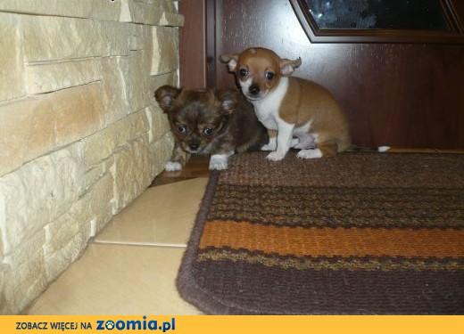 Chihuahua szczeniaki,  łódzkie Pabianice