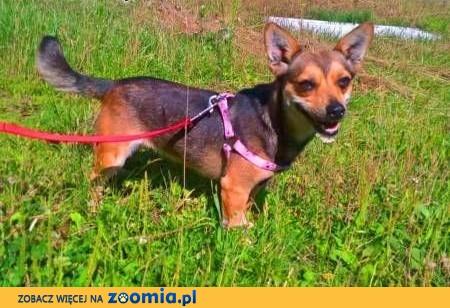 POLA - 3 letnia mikro sunia w typie chichuachua do adopcji,  mazowieckie Warszawa
