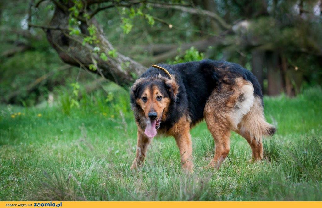 Hektor, duży kudłacz, super misiek do adopcji!