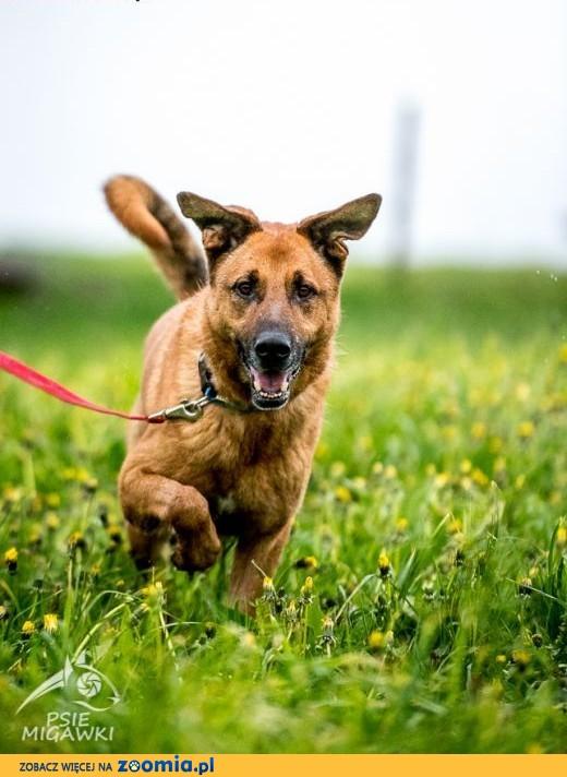 KORIN - rudawy psiak co pokocha Wasz świat!,  mazowieckie Warszawa