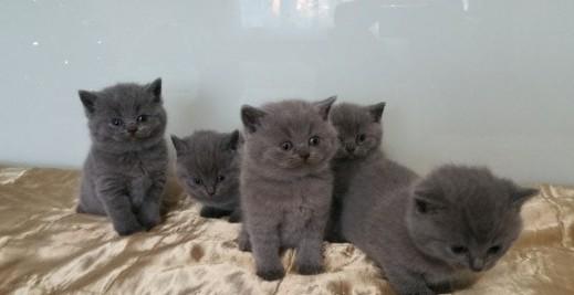 Kocięta brytyjskie krótkowłose gotowe