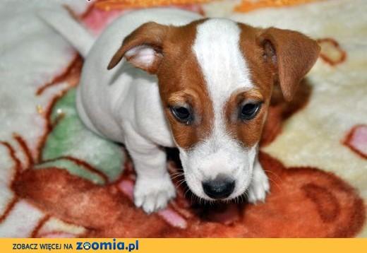 Jack Russell Terrier - biało-rudy PIESEK gładkowłosy, krótkie nóżki!,  mazowieckie Sochaczew