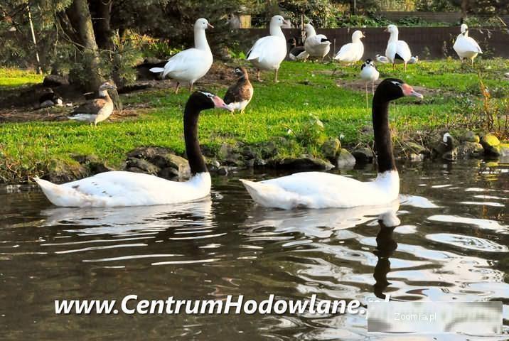 ŁABEDZIE CZARNOSZYJE i Inne ptaki wodne