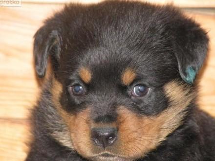Rottweiler szczeniaki po chionach z rodowodem ZKwP (FCI)