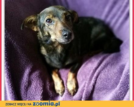 Malutka 7 kg mega przyjazna tulaśna łagodna sterylizowana sunia KLEO_Adopcja_
