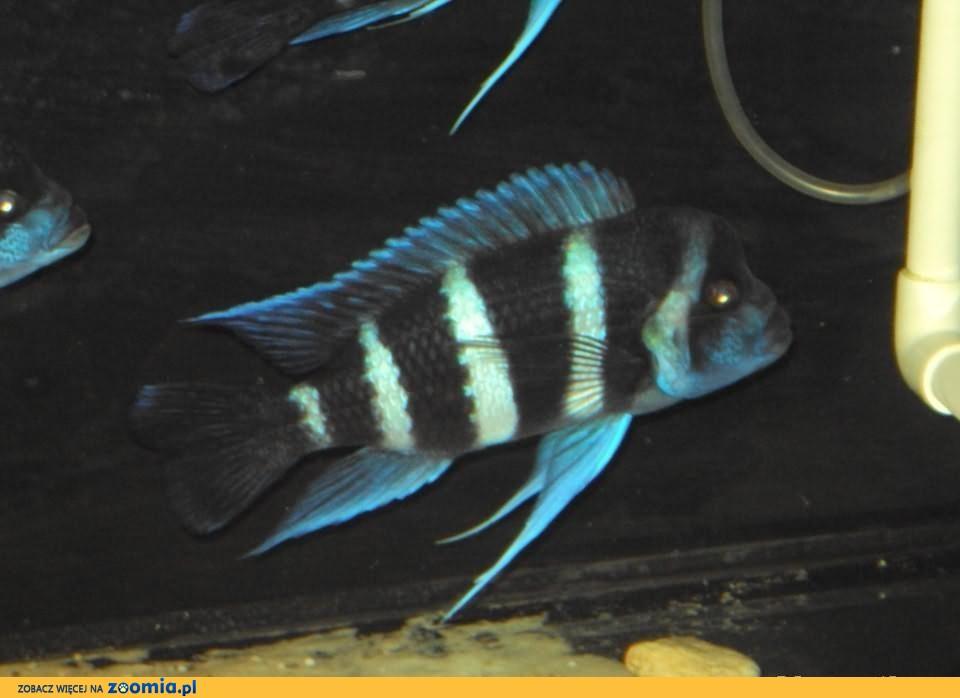 Cyphotilapia Frontosa Blue Zair Moba 2 samce 15-17cm