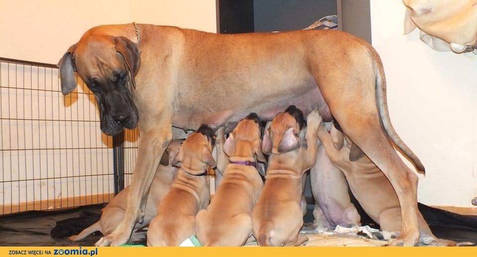 Dog niemiecki,żółte szczeniaki, po Chamiponach,z rodowodem FCI