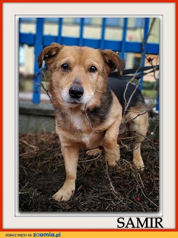 Średni 13 kg,4 lata,łagodny,przyjacielski,bezkonfliktowy,szczepiony psiak SAMIR_Adopcja_