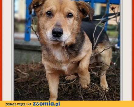 Średni 13 kg 4 lata łagodny przyjacielski bezkonfliktowy szczepiony psiak SAMIR_Adopcja_