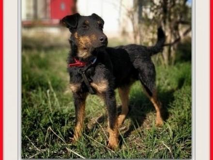 Jagdterier mix średni przyjazny pies do spokojnego domu szczepiony HUNTER   małopolskie Kraków