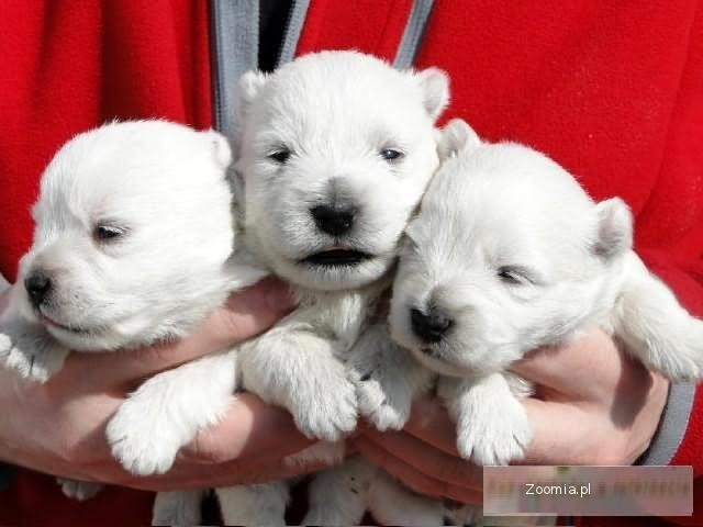WEST HIGLAND WHITE TERRIER - WESTIE - PIESKI