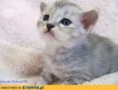 ŚLICZNA  DAMA  koteczka syberyjska z rodowodem,  śląskie Częstochowa
