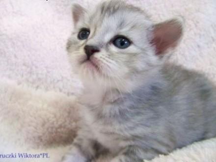 ŚLICZNA  DAMA  koteczka syberyjska z rodowodem   śląskie Częstochowa