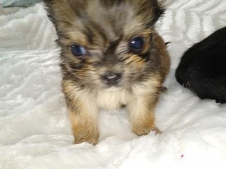 Chihuahua dwóch chłopców i dziewczynka długowłosa