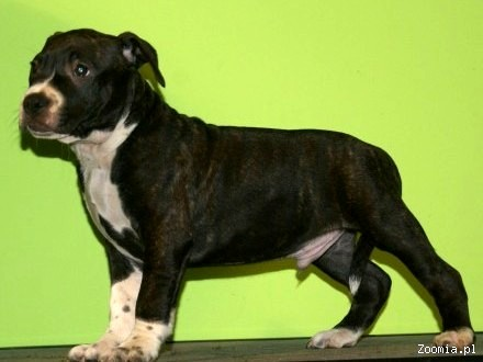 American Staffordshire Terrier po Chionie