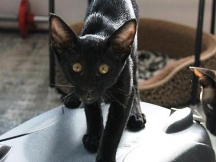 Czarna Puma Czarny Kocurek Orientalny Do Hodowli Po Syjamie I