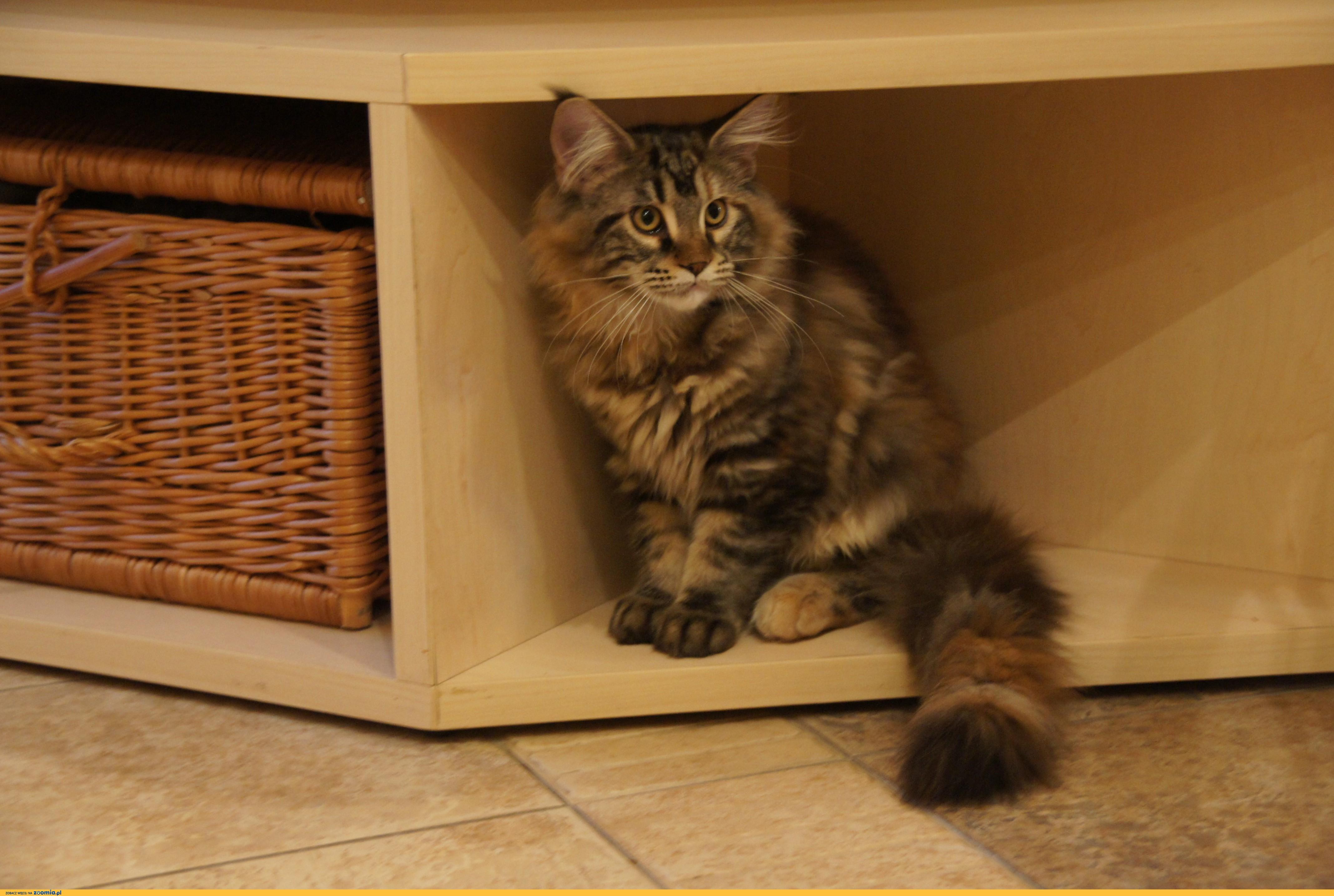 Sprzedam śliczne Kocięta Maine Coon Z Rodowodem Maine Coon Koty