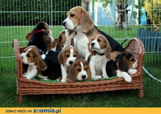 Beagle szczenięta, do przyjęcia,  małopolskie Bochnia