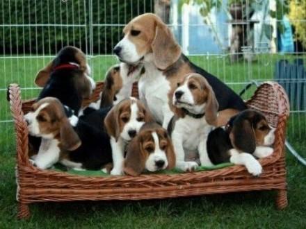 Beagle szczenięta  do przyjęcia   małopolskie Bochnia