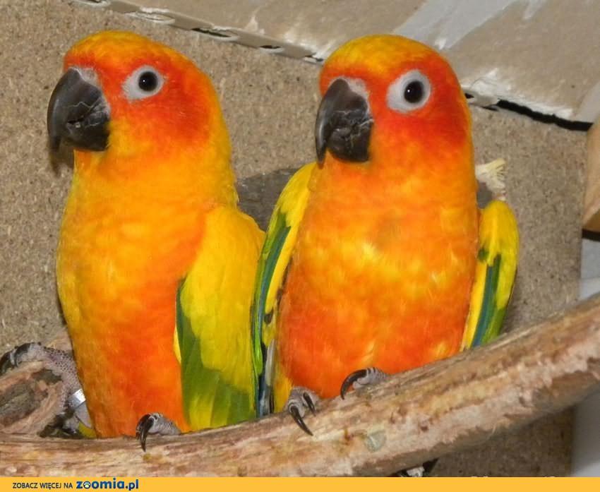 Para lęgowa, konury słoneczne, konura słoneczna papuga papugi sprzedam