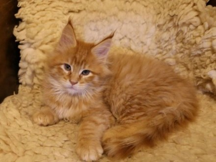 Piękne kocięta Maine Coon   Koty maine coon cała Polska