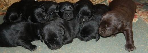 Labrador Retriever szczeniaki sprzedam   podkarpackie Dębica
