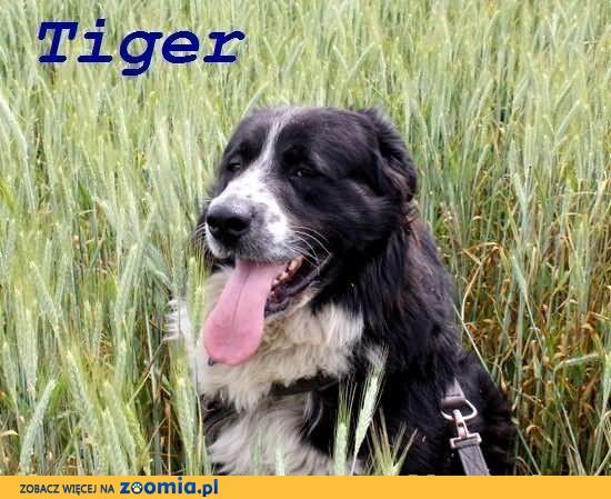 Prześliczny, duży pies Tiger szuka spokojnego domu