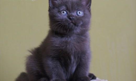 HIPI cudowna czekoladowa kotka (ticked) także do hodowli - FIFE   wielkopolskie Kalisz