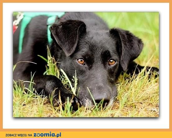 Średni,czarny,łagodny,radosny,towarzyski psiak WĘGIELEK_Adopcja_
