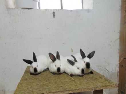 królik  króliki KC