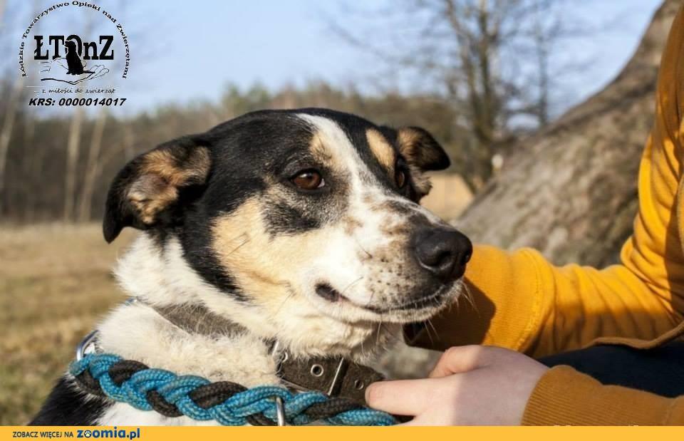 Wojtuś trikolorowy łagodny pies do adopcji
