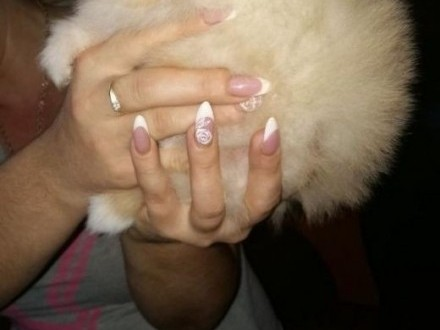Szpic miniaturowy-Pomeranian REZERWACJA   śląskie Myszków