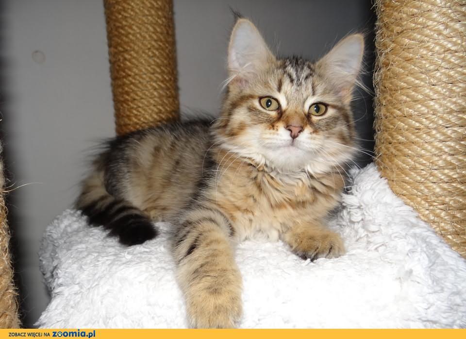 FARIDA piękna koteczka syberyjska