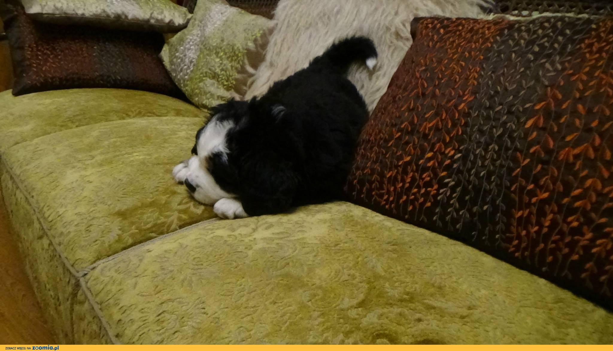 Berneński Pies Pasterski DAISY 3 m-czna suczka