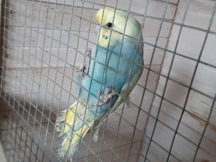 Papużki faliste tęczowe