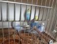 'Papużki faliste tęczowe