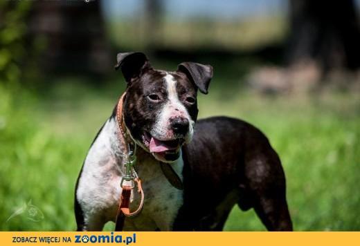 Jero jest silnym psem, Twoje życie z nim będzie snem,  mazowieckie Warszawa