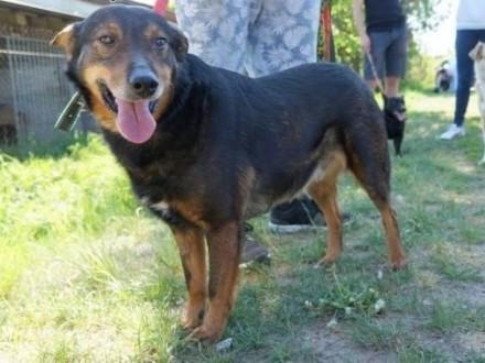 Aslan jest niezwykłym, opanowanym, przyjaznym psem - nie powinien tyle czekać na dom!!!,  mazowieckie Piaseczno