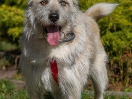 Przepiękny Iwan  zjawiskowy  przytulaśny psiak do adopcji!