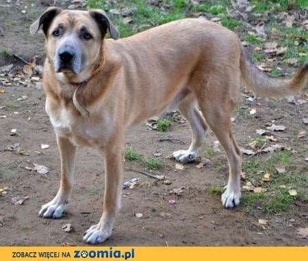 MAFIN - duży, piękny i kochany psiak; do adopcji,  małopolskie Kraków