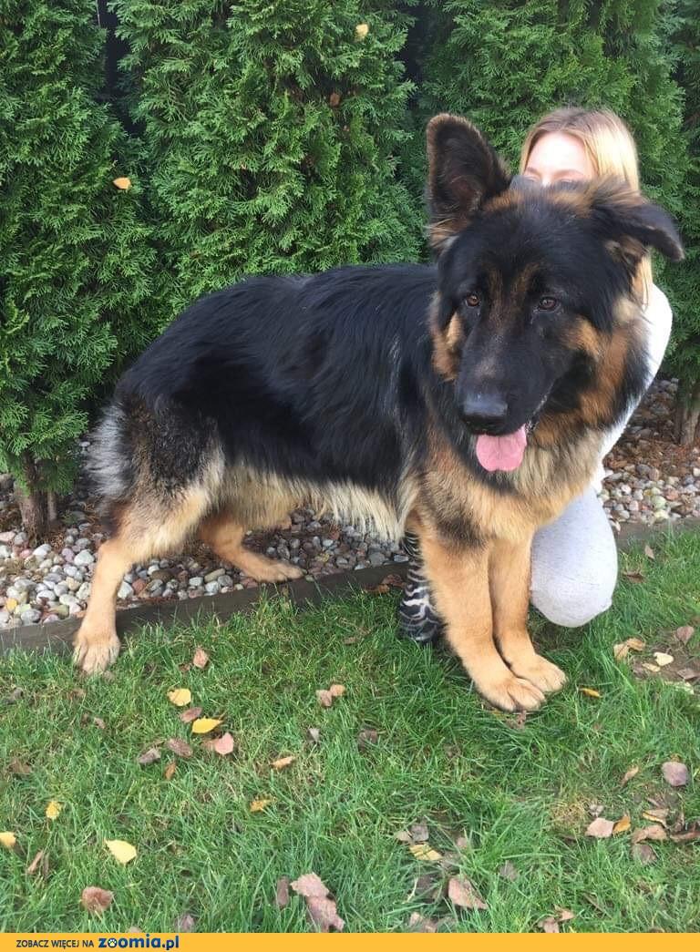 Leon, przepiękny pies w typie OWCZARKA szuka kochajacego domu!