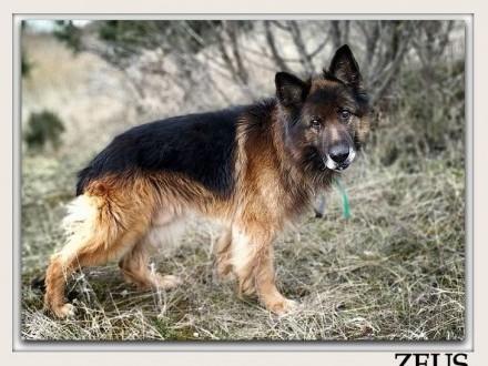 Stróżujący nieufny do obcych owczarek niemszczepiony pies ZEUSAdopcja