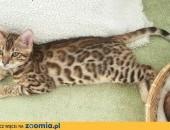 Kot bengalski - bengal cat for sale,  wielkopolskie Konin