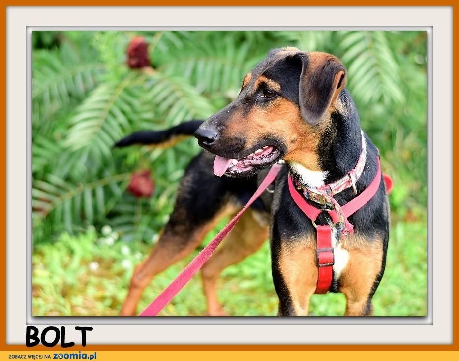 Terier mix, sredni,aktywny,przyjazny pies BOLT_Dam_