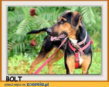 Terier mix  sredni aktywny przyjazny pies BOLT_Dam_