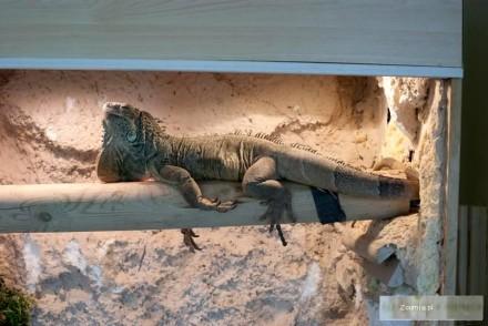 Sprzedam ok 3 5 letniego legwana zielonego iguana iguana+terra
